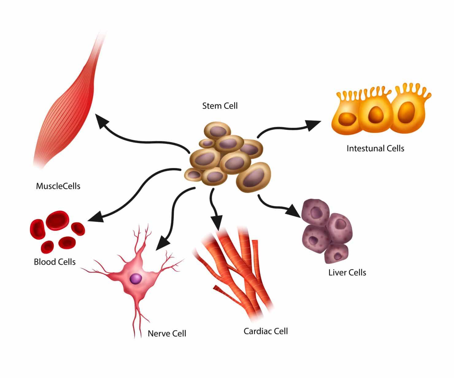 komórki macierzyste wykorzystanie